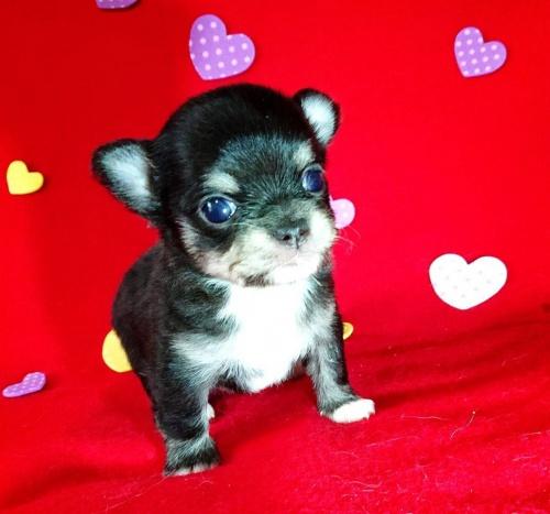 チワワ(ロング)の子犬(ID:1282711001)の1枚目の写真/更新日:2021-05-02
