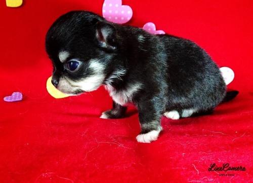 チワワ(ロング)の子犬(ID:1282711001)の3枚目の写真/更新日:2021-05-02