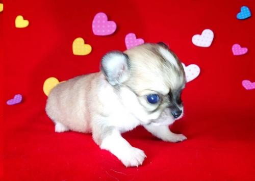 チワワ(ロング)の子犬(ID:1282711003)の2枚目の写真/更新日:2021-05-02