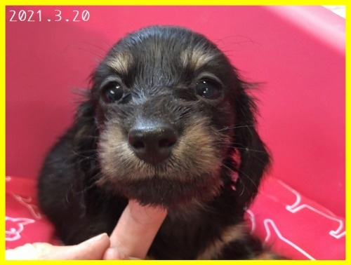 カニンヘンダックスフンド(ロング)の子犬(ID:1282911002)の1枚目の写真/更新日:2021-03-20