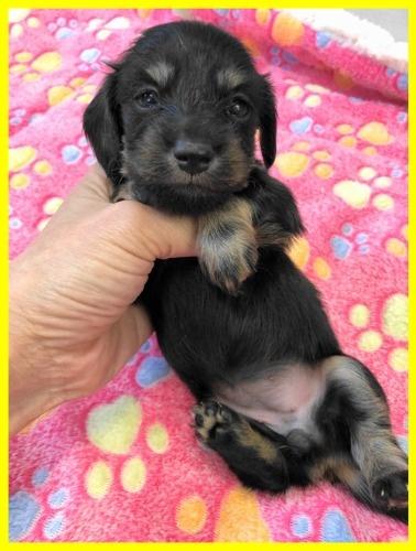 カニンヘンダックスフンド(ロング)の子犬(ID:1282911002)の2枚目の写真/更新日:2021-03-09