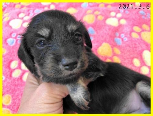 カニンヘンダックスフンド(ロング)の子犬(ID:1282911002)の3枚目の写真/更新日:2021-03-09