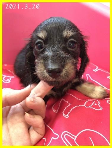 カニンヘンダックスフンド(ロング)の子犬(ID:1282911002)の7枚目の写真/更新日:2021-03-20