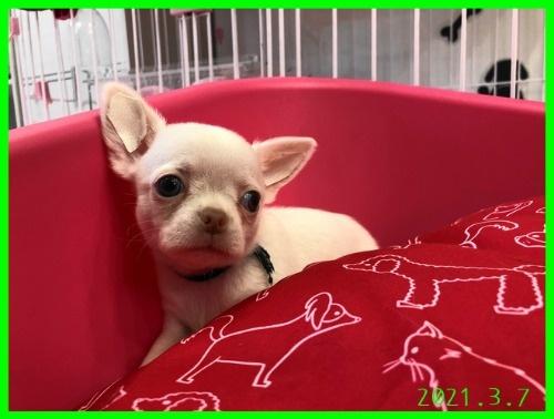 チワワ(スムース)の子犬(ID:1282911003)の2枚目の写真/更新日:2021-03-09