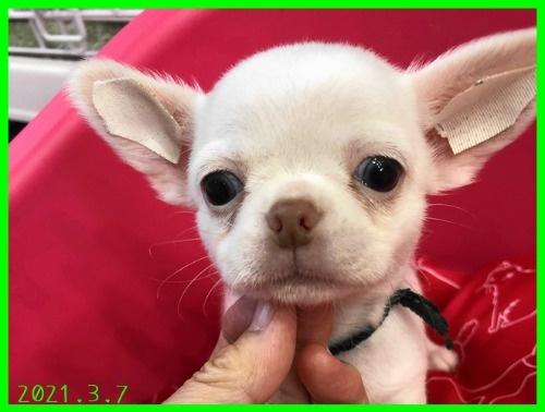 チワワ(スムース)の子犬(ID:1282911003)の3枚目の写真/更新日:2021-03-09