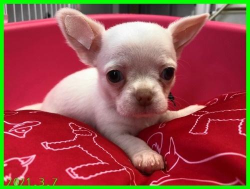チワワ(スムース)の子犬(ID:1282911003)の6枚目の写真/更新日:2021-03-09
