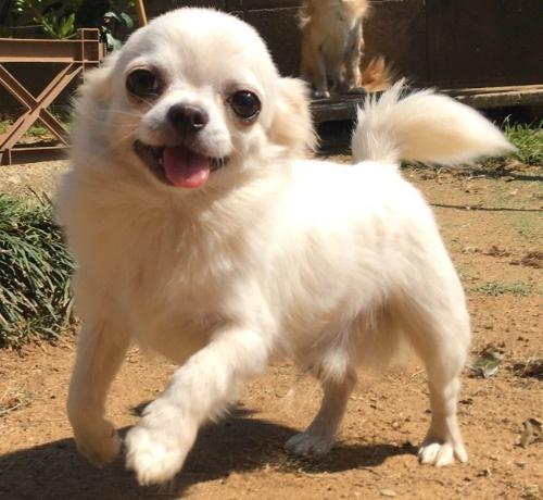 チワワ(スムース)の子犬(ID:1282911003)の8枚目の写真/更新日:2021-03-09