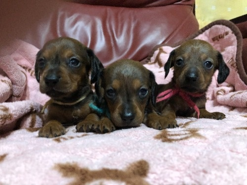 ミニチュアダックスフンド(スムース)の子犬(ID:1282911004)の2枚目の写真/更新日:2021-03-17