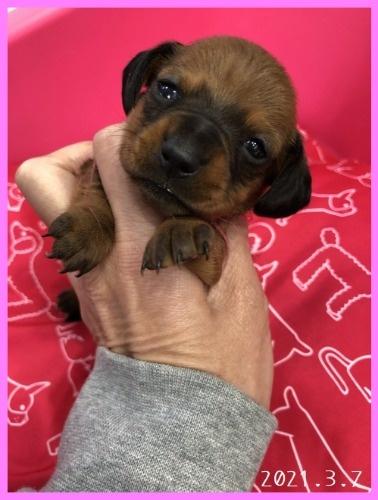 ミニチュアダックスフンド(スムース)の子犬(ID:1282911004)の3枚目の写真/更新日:2021-03-17