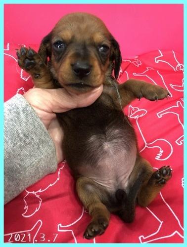 ミニチュアダックスフンド(スムース)の子犬(ID:1282911004)の4枚目の写真/更新日:2021-03-17