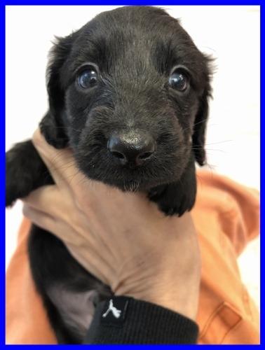 ミニチュアダックスフンド(ロング)の子犬(ID:1282911006)の1枚目の写真/更新日:2021-04-23
