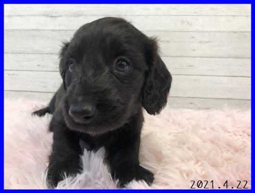 ミニチュアダックスフンド(ロング)の子犬(ID:1282911006)の3枚目の写真/更新日:2021-04-23