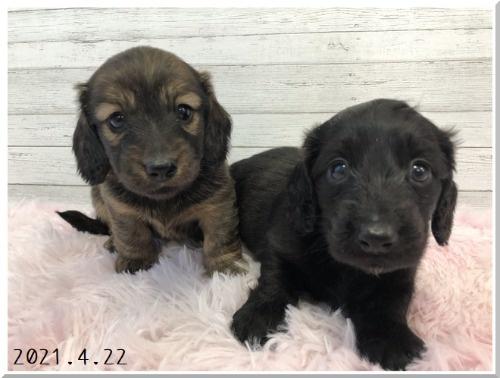 ミニチュアダックスフンド(ロング)の子犬(ID:1282911006)の4枚目の写真/更新日:2021-04-23