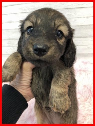 ミニチュアダックスフンド(ロング)の子犬(ID:1282911007)の1枚目の写真/更新日:2021-04-23
