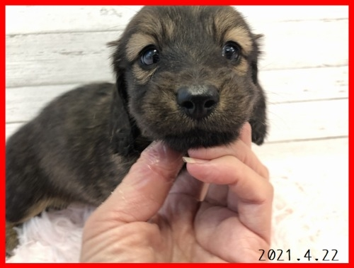 ミニチュアダックスフンド(ロング)の子犬(ID:1282911007)の2枚目の写真/更新日:2021-04-23