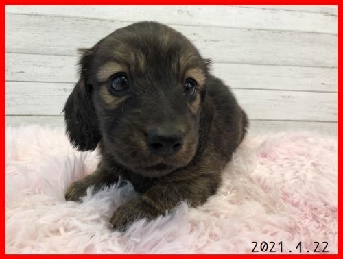 ミニチュアダックスフンド(ロング)の子犬(ID:1282911007)の3枚目の写真/更新日:2021-04-23