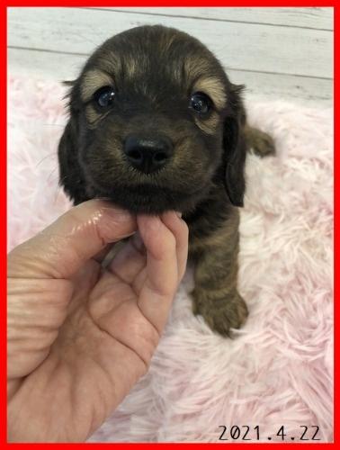 ミニチュアダックスフンド(ロング)の子犬(ID:1282911007)の5枚目の写真/更新日:2021-04-23