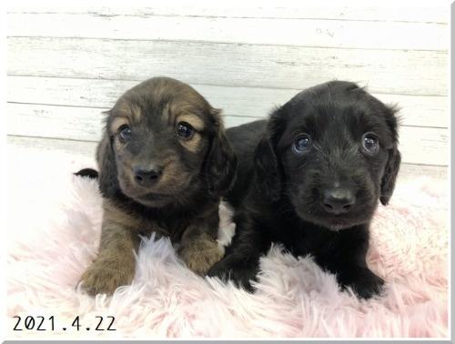 ミニチュアダックスフンド(ロング)の子犬(ID:1282911007)の7枚目の写真/更新日:2021-04-23