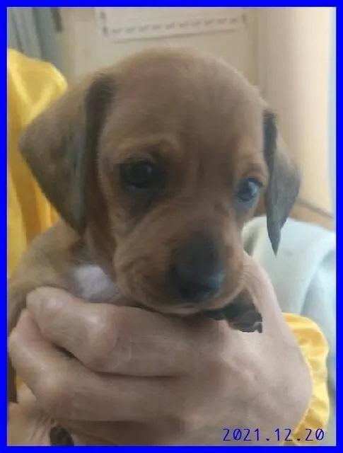 カニンヘンダックスフンド(ロング)の子犬(ID:1282911011)の1枚目の写真/更新日:2021-04-29
