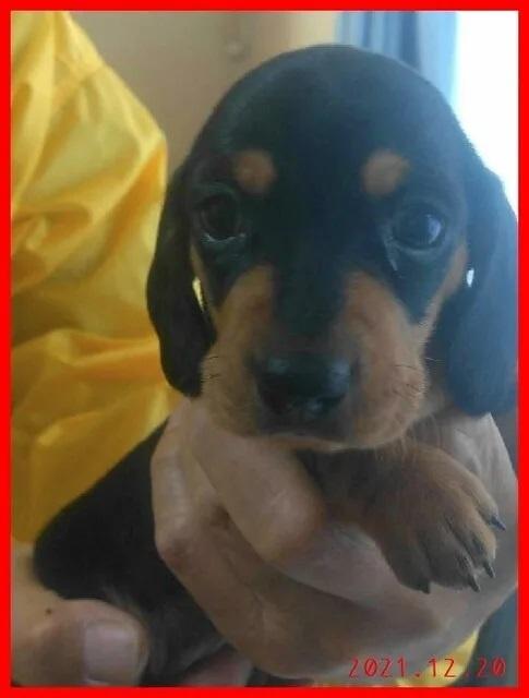 カニンヘンダックスフンド(ロング)の子犬(ID:1282911012)の1枚目の写真/更新日:2021-04-29