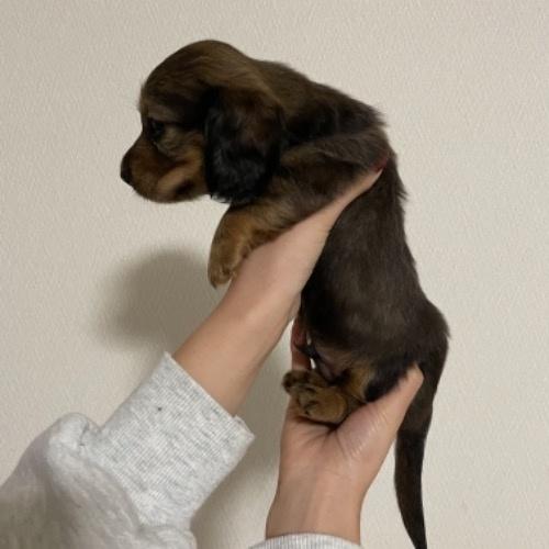 ミニチュアダックスフンド(ロング)の子犬(ID:1283011001)の3枚目の写真/更新日:2021-10-13
