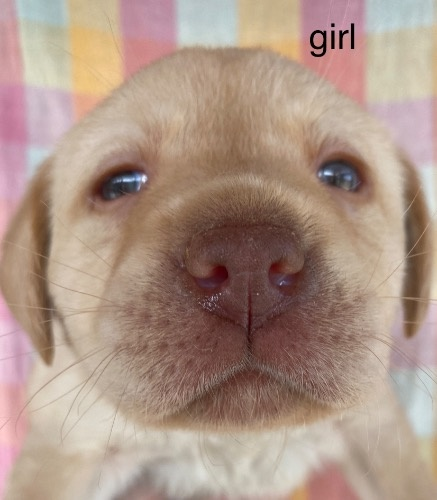 ラブラドールレトリバーの子犬(ID:1283111002)の1枚目の写真/更新日:2021-04-04