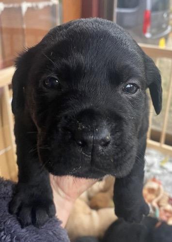 ラブラドールレトリバーの子犬(ID:1283111006)の1枚目の写真/更新日:2021-03-16