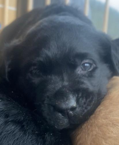ラブラドールレトリバーの子犬(ID:1283111006)の2枚目の写真/更新日:2021-03-16