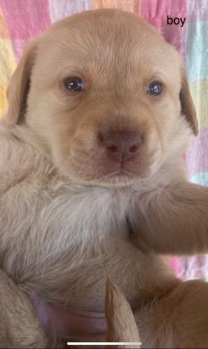 ラブラドールレトリバーの子犬(ID:1283111009)の1枚目の写真/更新日:2021-04-14