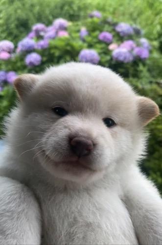 柴犬の子犬(ID:1283111011)の1枚目の写真/更新日:2021-07-08