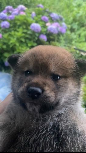 柴犬の子犬(ID:1283111012)の1枚目の写真/更新日:2021-07-08