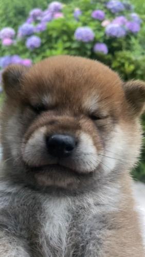 柴犬の子犬(ID:1283111013)の2枚目の写真/更新日:2021-07-08