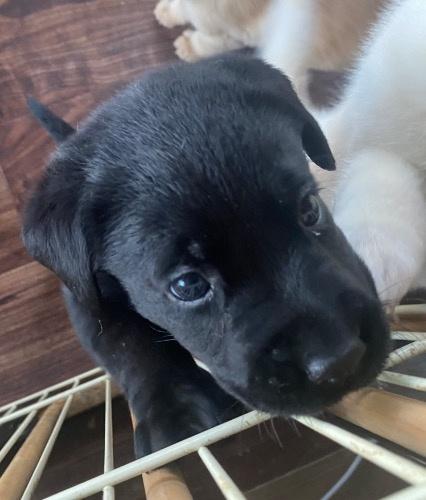 ラブラドールレトリバーの子犬(ID:1283111014)の2枚目の写真/更新日:2021-07-17