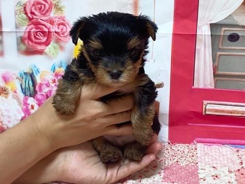 ヨークシャーテリアの子犬(ID:1283711003)の1枚目の写真/更新日:2021-09-29