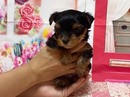 ヨークシャーテリアの子犬(ID:1283711003)の3枚目の写真/更新日:2021-09-29