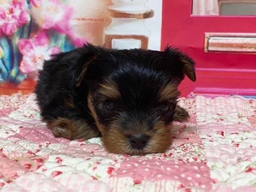 ヨークシャーテリアの子犬(ID:1283711003)の5枚目の写真/更新日:2021-09-29