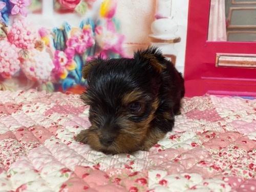 ヨークシャーテリアの子犬(ID:1283711004)の2枚目の写真/更新日:2021-09-29