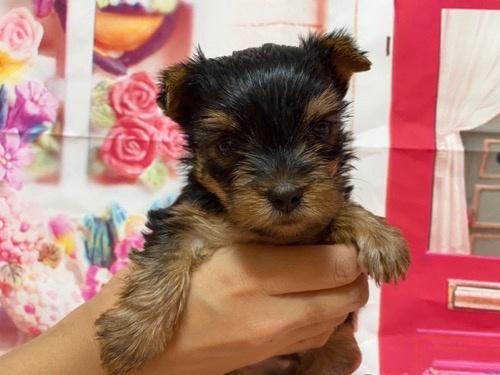 ヨークシャーテリアの子犬(ID:1283711004)の3枚目の写真/更新日:2021-09-29
