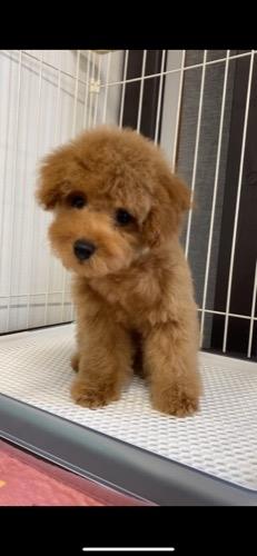 トイプードルの子犬(ID:1284311001)の1枚目の写真/更新日:2021-10-11