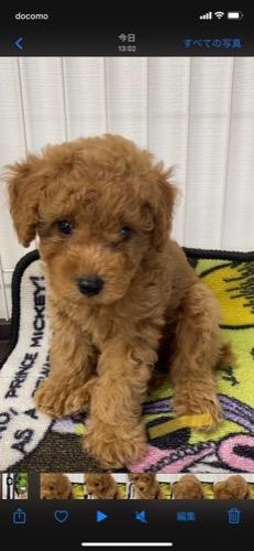 トイプードルの子犬(ID:1284311001)の2枚目の写真/更新日:2021-10-11