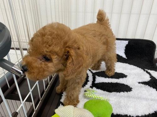 トイプードルの子犬(ID:1284311001)の3枚目の写真/更新日:2021-10-11