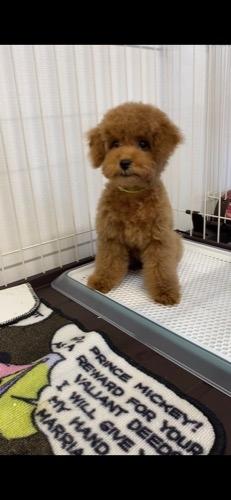トイプードルの子犬(ID:1284311002)の1枚目の写真/更新日:2021-10-11
