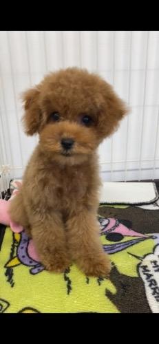 トイプードルの子犬(ID:1284311002)の2枚目の写真/更新日:2021-10-11
