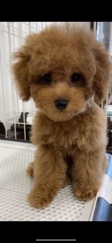 トイプードルの子犬(ID:1284311003)の1枚目の写真/更新日:2021-10-11