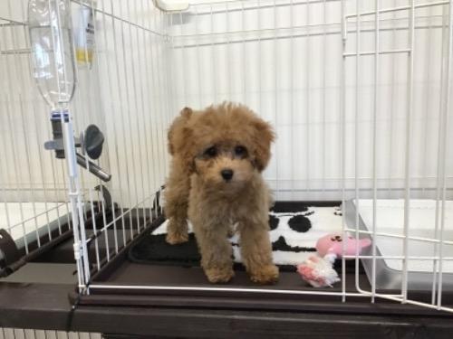 トイプードルの子犬(ID:1284311003)の2枚目の写真/更新日:2021-10-11