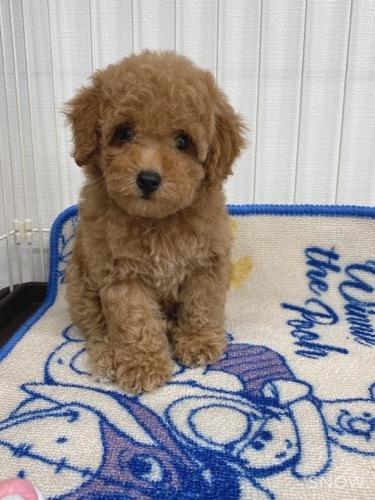 トイプードルの子犬(ID:1284311003)の3枚目の写真/更新日:2021-10-11